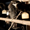 cow feedlot RESTRICTED