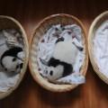 02 baby pandas