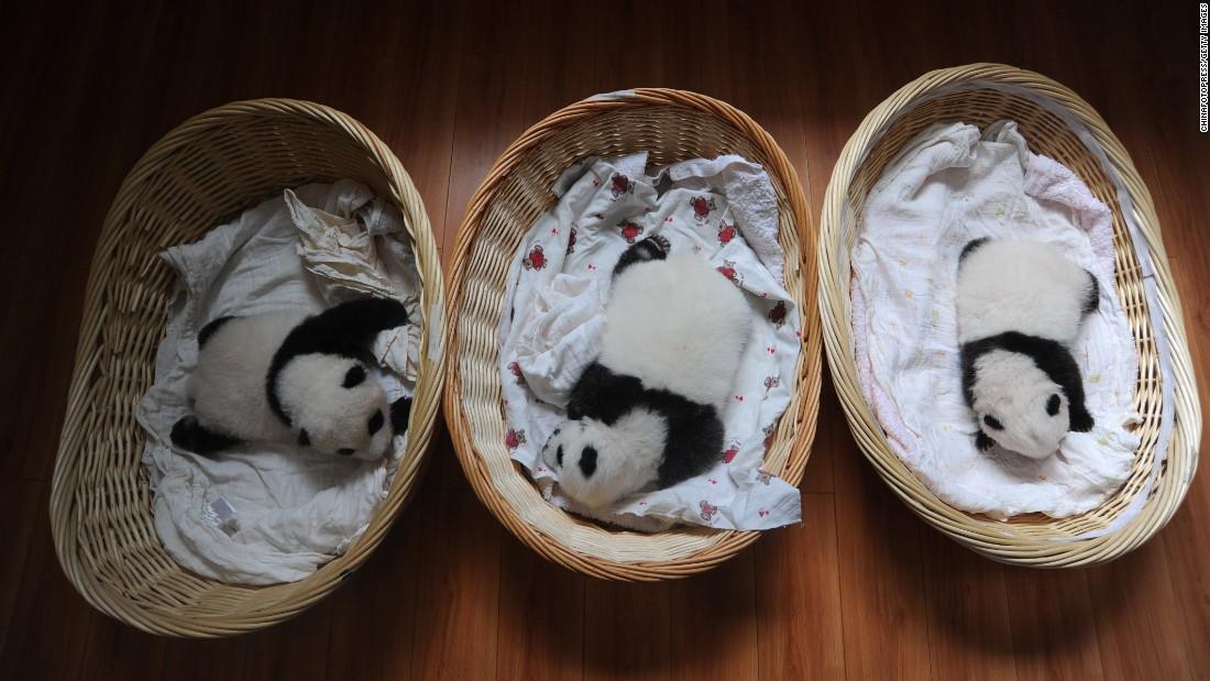 Newborn panda cubs lie in baskets on August 21.