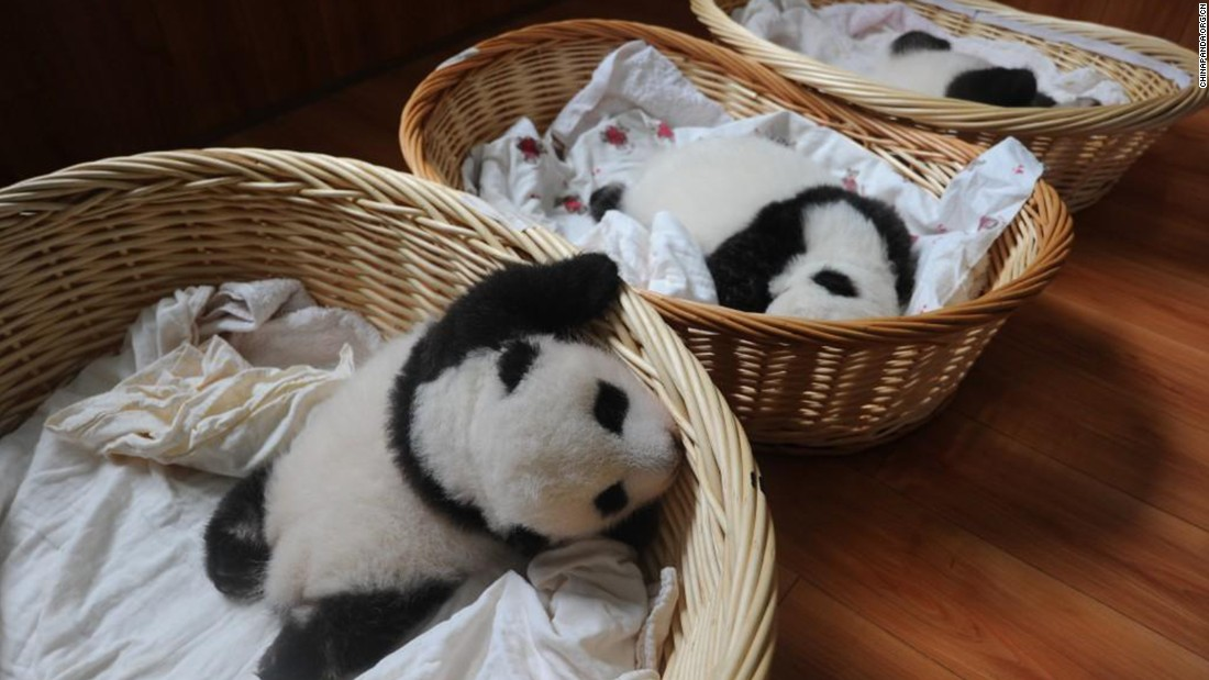 The breeding center has nurtured 21 panda cubs in all.