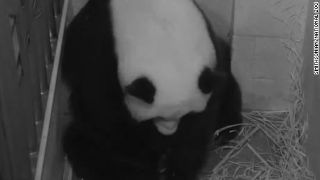 giant panda mei xiang gives birth to cub _00005216