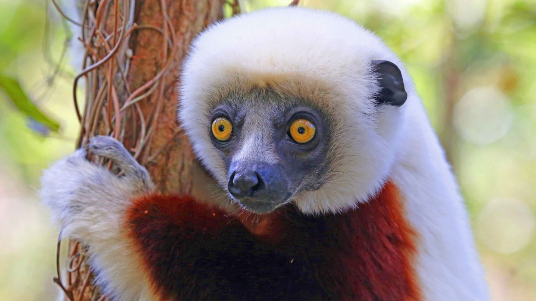 Madagascar 9 Lemur Coquerel's Sifaka
