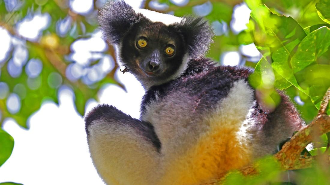 Madagascar 11 Lemur Indri