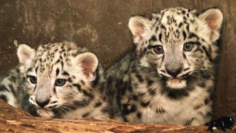 snow leopard cubs born vo_00000000