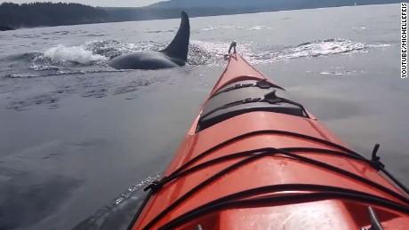orca kayak close encounter san juan islands ct_00000026