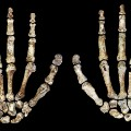 RESTRICTED Homo Naledi Hands Wits