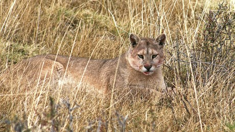 A puma rests in a grassy plain in Torres Del Paine National Park with blood on its mouth from a fresh kill.