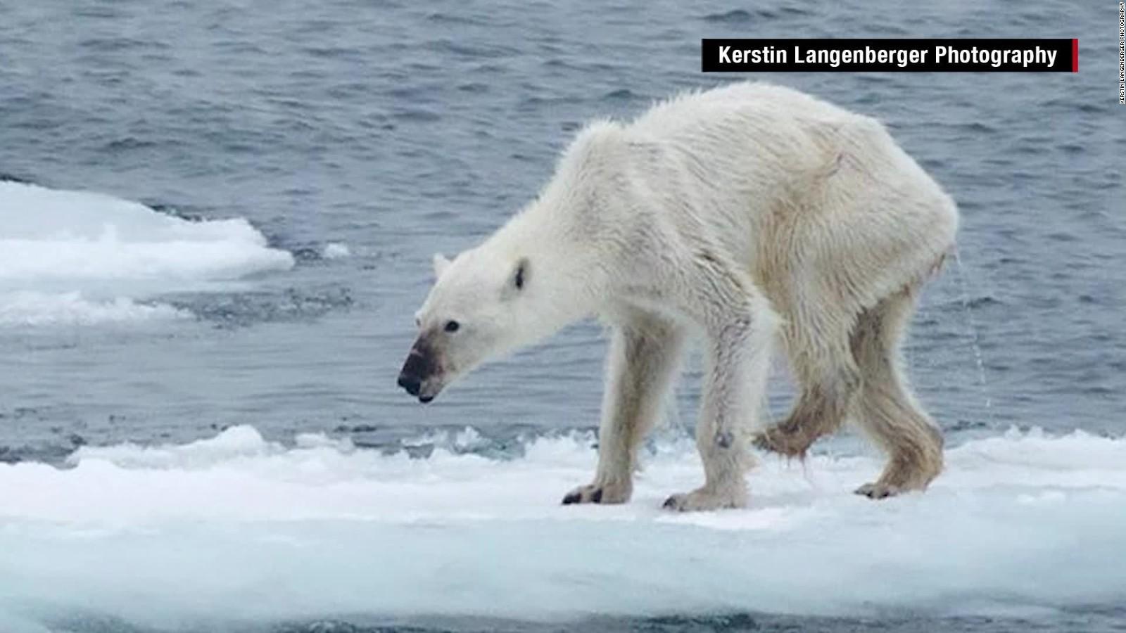 Polar Bears Global Warming Graph Emaciated Bear Whats To