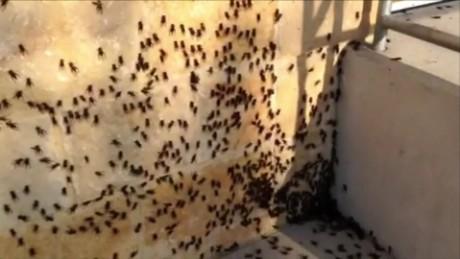 texas cricket infestation dnt_00001512