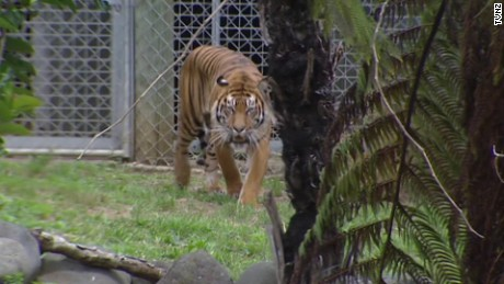 new zealand tiger attack pkg _00002906.jpg