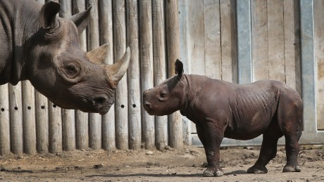 CHICAGO, IL - SEPTEMBER 17:  King, an Eastern black rhinoceros born August 26, makes his public debut at the Lincoln Park Zoo with his mother Kapuki on September 17, 2013 in Chicago, Illinois. King's father Maku, 27, is on breeding loan from Caldwell Zoo in Tyler, Texas and his mother, 8, is on loan from Brookfield Zoo in suburban Chicago.  Eastern black rhinos are critically endangered in their native Africa due largely to poaching.  (Photo by Scott Olson/Getty Images)