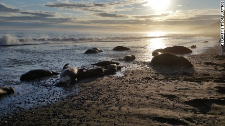 On September 16, 2015, the U.S. Fish and Wildlife Service, Alaska Region, received a report that approximately 25 walrus, including calves, had been killed on the coast of Alaska, near Cape Lisburne, and that some were missing tusks.