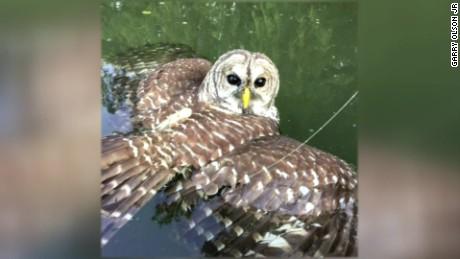 owl caught in fishing lure austin texas_00000119.jpg