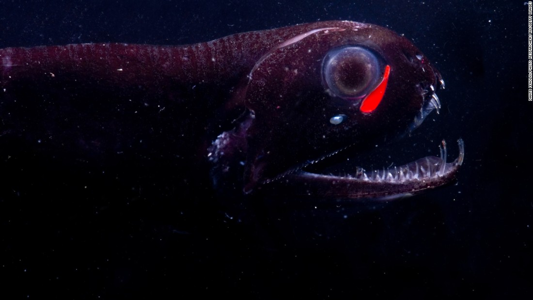 Instead of only producing blue light like most other bioluminescent marine animals, the dragon fish emits a red light as well. Although red light doesn't travel as far, it lets the dragon fish see its prey undetected.