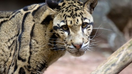 "Researchers at the University of Georgia's Regenerative Bioscience Center extracted skin cells from Clouded leopard ""Moby."" They believe the ""frozen zoo"" of stem cells they are creating will someday allow for easily breed and repopulate endangered species. Moby was euthanized in 2013 after suffering several months of age-related complications."