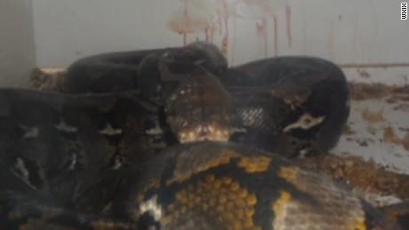 python snake attack owner pkg_00005015.jpg