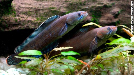 The vibrant blue walking snakehead fish can breathe air and survive on land for up to four days, the WWF says.