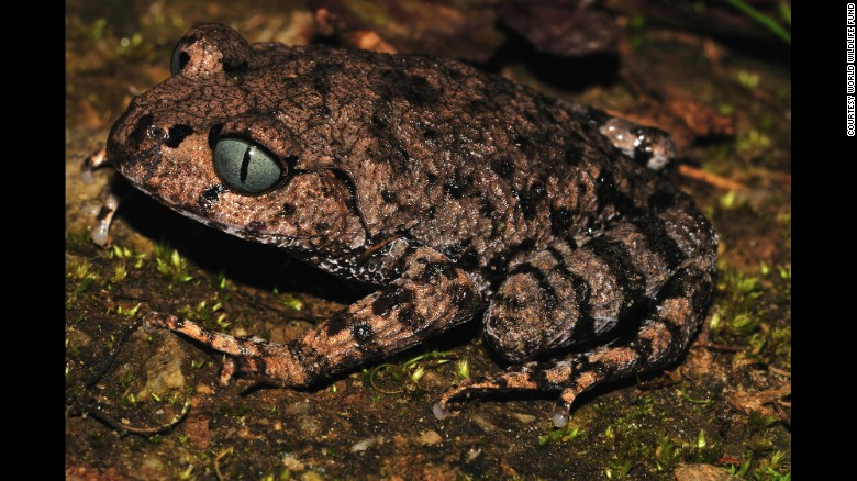 A new species of frog -- Leptobrachium bompu -- was one of the hundreds of new species of animals and plants discovered in the Eastern Himalayas, according to the World Wildlife Fund. This frog has greyish-blue eyes, with a vertically oriented black pupil, WWF says.