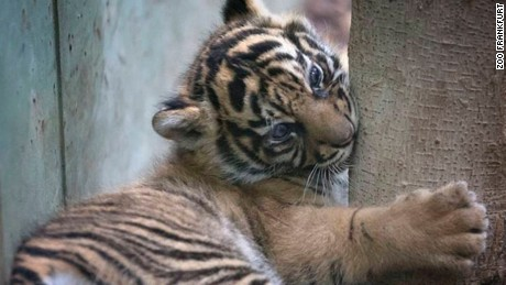 Tiger cub, born recently at the Frankfurt Zoo.
