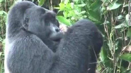 segment gorillawalker _00000711