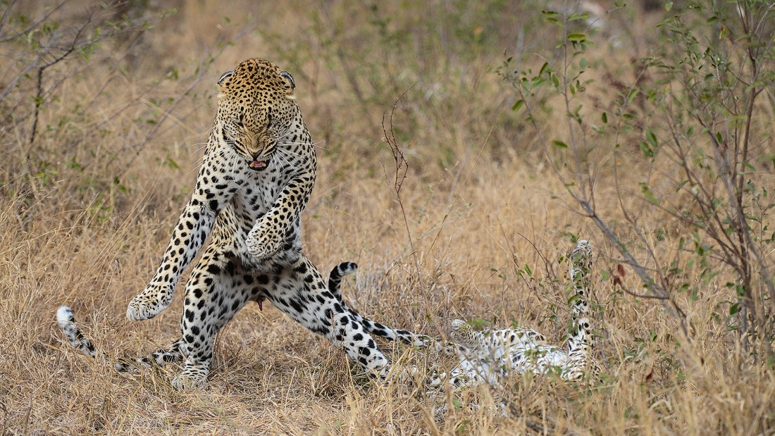 Photograher Mohammed Alnaser photographed this male leopard right after a successful mating session in the Londolozi Private Game Reserve in South Africa.
