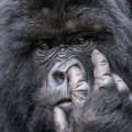 Nose picker Comedy Wildlife Photography Awards