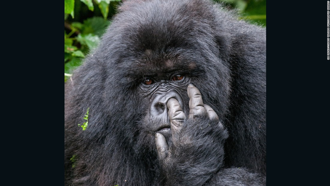 See, gorillas really are just like us. Photo by Oli Dreike.