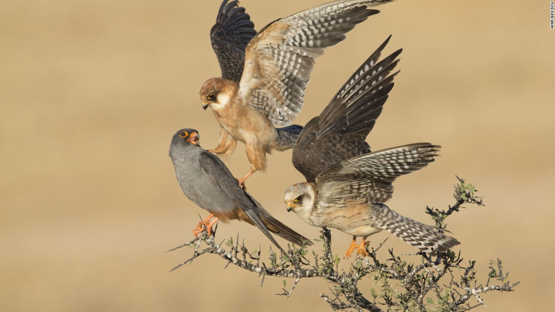 <strong>Category: Birds</strong><br />The company of three by Amir Ben-Dov, Israel. <br />Ben-Dov spent many days observing these red-footed falcons. Here, one female nudges the male with its claw then flies up to make space for the third bird. The reason for their behavior is a mystery.