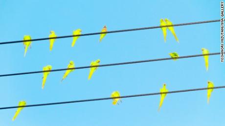 Parakeets gone wild in Tokyo