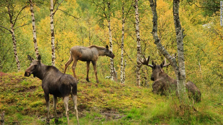 Moose roam a large enclosure at  Polar Park Arctic Wildlife Center in northern Norway.