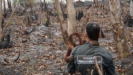 Orangutans are being evacuated from the forests of Borneo as a dangerous haze caused by forest fires continues to impact South East Asia.