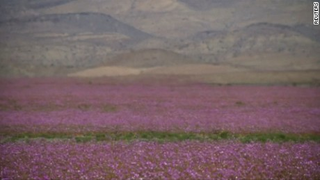 Edit No:3218 CHILE-CLIMATE/DESERT  Spectacular carpet of flowers cover Chile's Atacama as desert blooms  A rare flower bloom turns the arid desert of Atacama in Chile into a magnificent carpet of mauve-coloured flowers.