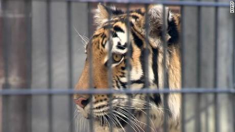 Tiger bites woman at zoo_00000518