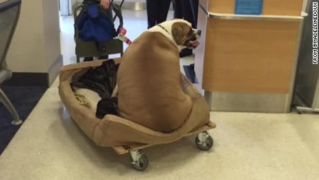 flabby dog flying first class moos pkg erin_00002622.jpg