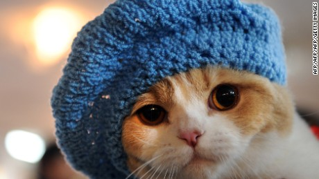 A cat with a knitted hat looks on during a cat's exhibition in Bishkek, on March 18, 2012. Cats owners from three countries, Kyrgyzstan, Kazakhstan and Uzbekistan gather to show off their pets.  AFP PHOTO / VYACHESLAV OSELEDKO (Photo credit should read VYACHESLAV OSELEDKO/AFP/Getty Images)