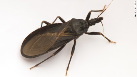 "Closeup of a poisonous ""kissing bug,"" also called an ""assassin bug,"" spreader of Chagas disease."