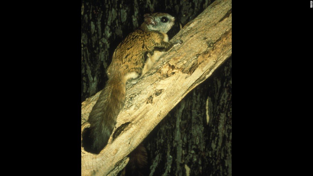 "The <strong>Virginia northern flying squirrel </strong>was in danger of extinction in 1985, when scientists documented only 10 remaining animals. But its population made a comeback, and the squirrel was removed from the list in 2013. The squirrel is native to West Virginia and, yes, Virginia. It doesn't really fly, although membranes between its legs serve as ""wings"" and let it glide from tree to tree."