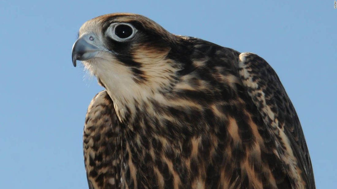 The <strong>American peregrine falcon </strong>was classified as endangered in 1970 after its population was decimated by pesticides. By 1975, there were only 324 known nesting pairs of American peregrine falcons. Conservation efforts helped them rebound, and they were removed from the list in 1999. There are now more than 2,000 known breeding pairs of the birds in North America.