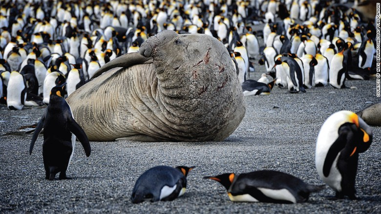 Elephant bull seals: Approach with caution.