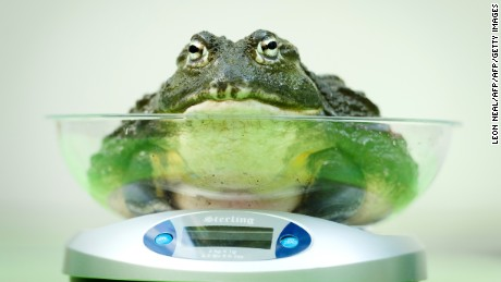 An African Bullfrog is placed on a weighing scale during the London Zoo's annual weigh-in in London on August 21, 2013. The task involves weighing and measuring the population of the zoo, before the information is shared with zoos across the world, allowing them to compare data on thousands of endangered species. AFP PHOTO/Leon Neal        (Photo credit should read LEON NEAL/AFP/Getty Images)