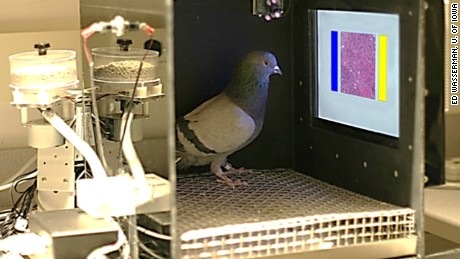 Pigeons, the next great cancer detector? - CNN.com