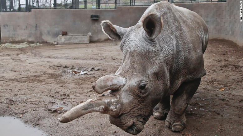 Endangered northern white rhino facing health problems