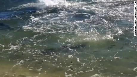 shark feeding frenzy shore panama city beach fl _00011325