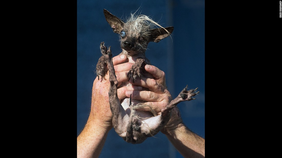 "<strong>June 26:</strong> Sweepee Rambo, a 16-year-old Chinese Crested dog, competes in the <a href=""http://www.cnn.com/2015/06/27/living/gallery/ugliest-dog-competition/index.html"" target=""_blank"">World's Ugliest Dog Contest</a> in Petaluma, California. She finished as runner-up."