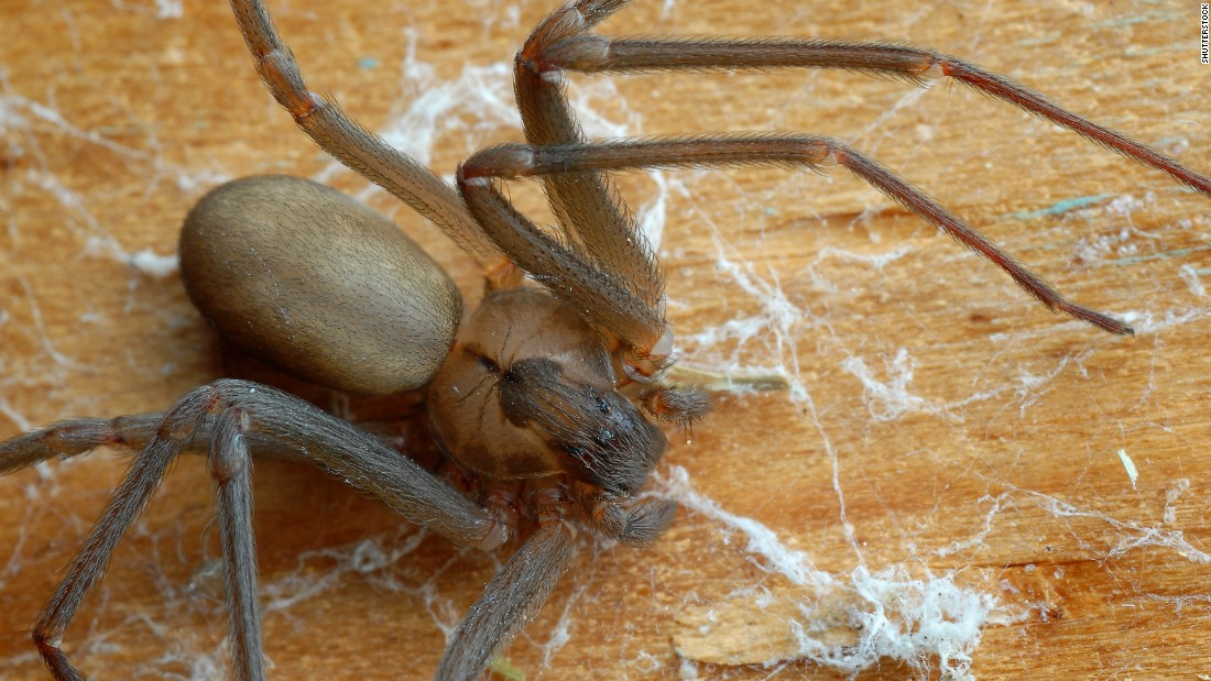 Stay away from the brown recluse spider, one of the most dangerous arachnids on Earth. It can be found outdoors near rocks or in the woods -- or, chillingly, indoors in dark places, including corners and furniture. Its bite can cause lesions that lead to gangrene.