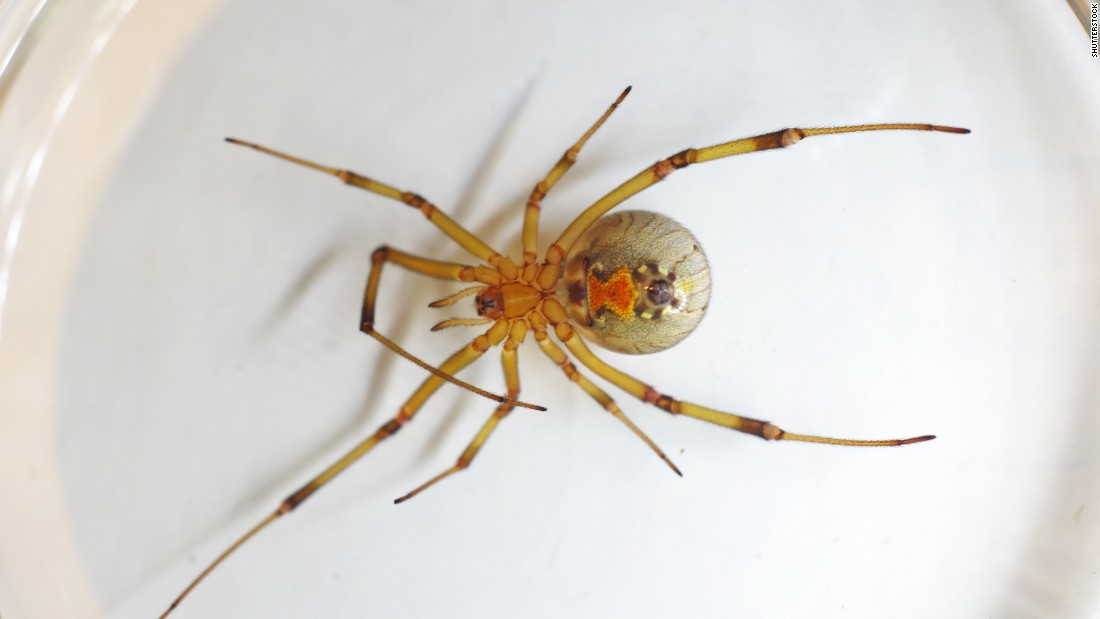 A brown widow spider, which also has an hourglass-shaped marking on its abdomen, is slightly less venomous than the black widow. It's thought to live in most of the world's most tropical locations as well as in the southern United States. These nocturnal creatures have painful bites that can result in serious swelling and redness.