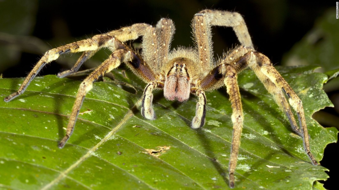 Although they resemble the harmless tarantula, Brazilian wandering spiders, known for building webs in bananas, are considerably more dangerous. The South American specimen may well be the most venomous spider on the planet. Its bite could be life-threatening.