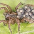 06 dangerous spider wolf spider