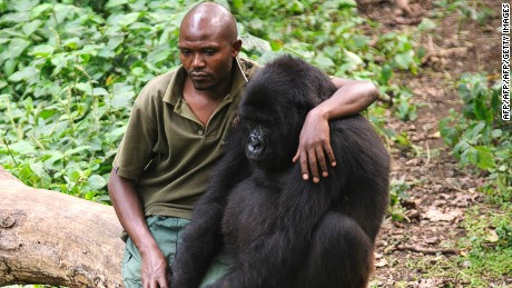 "Patrick Karabaranga, a warden at the Virunga National Park, sits with an orphaned mountain gorilla in the gorilla sanctuary in the park headquarters at Rumangabo in the east of the Democratic Republic of the Congo on July 17, 2012. The Virunga park is home to some 210 mountain gorillas, approximately a quarter of the world's population. The four orphans that live in the sanctuary are the only mountain gorillas in the world not living in the wild, having been brought here after their parents were killed by poachers or as a result of traffickers trying to smuggle them out of the park. ""They play a critical part in the survival of the species"" says Emmanuel De Merode, Director for Virunga National Park. He adds that the ICCN does not currently have access to the gorilla sector of the park due to the M23 rebellion. AFP PHOTO/PHIL MOORE        (Photo credit should read PHIL MOORE/AFP/Getty Images)"
