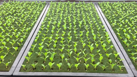 Growing time, from seed to harvest, is a lean 40 days.